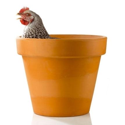poule dans un pot